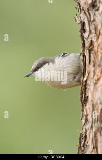 Pygmy Nuthatch - Vertical - Stock-Bilder