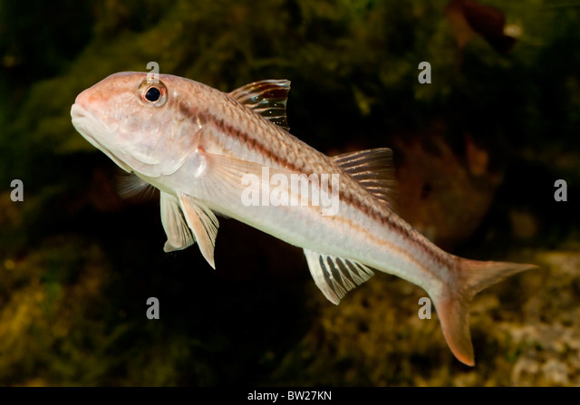 Striped mullet fish stock photos striped mullet fish for Mullet fish florida