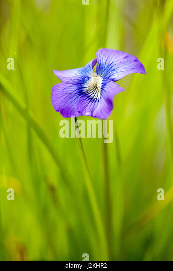Violet Species - Coontree Trail, Pisgah National Forest, near Brevard, North Carolina, USA - Stock Image