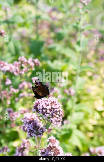 Peacock butterfly (Inachis io) alighting on valerian flower (Valeriana officinalis) - Stock Image