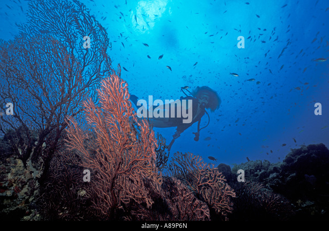 Caribbean island St Lucia diver at Anse chastanet reef Saint Lucia - Stock Image