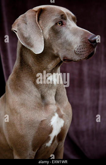 Three quarter profile portrait of young adult Weimaraner Dog against obscure velvet background - Stock Image