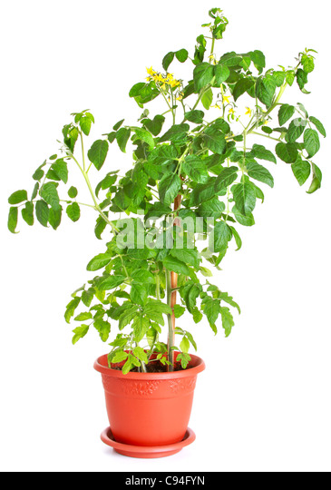 Tomato bush growing in a flower pot isolated on white - Stock Image