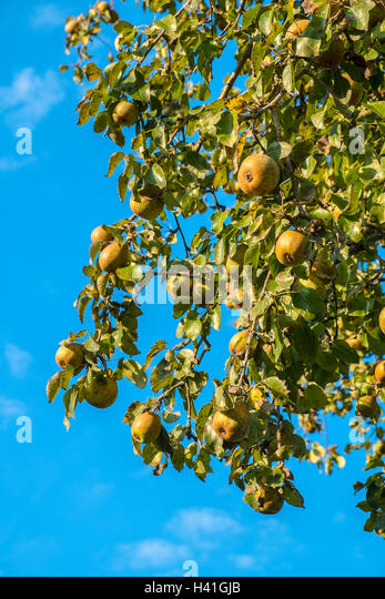 Apples on bough of apple tree - France. - Stock Image