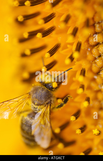 Closeup of a bee on a sunflower - Stock Image