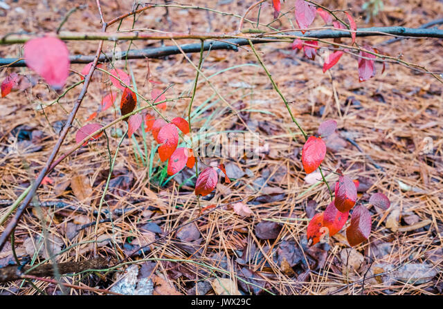 A variety of low growing forest floor plants changing color during autumn season. - Stock Image