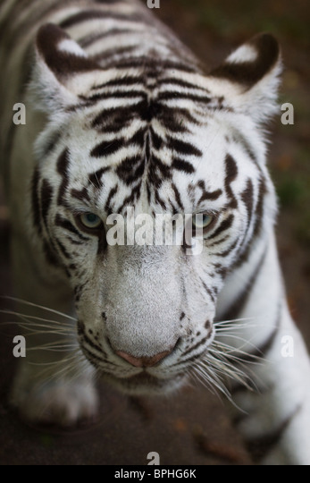 White tiger cub, beauval zoo - Stock Image