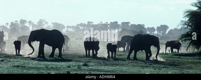 African elephant Loxodonta africana herd kicking up dust as they feed at the end of the day Okavango Delta Botswana - Stock Image