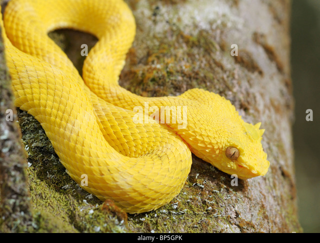Eyelash viper, Bothriechis schlegelii, Arenal National Park, Costa Rica - Stock Image