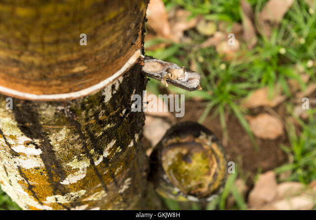 Rubber tapping is the process by which the latex is collected from a rubber tree - Stock Image