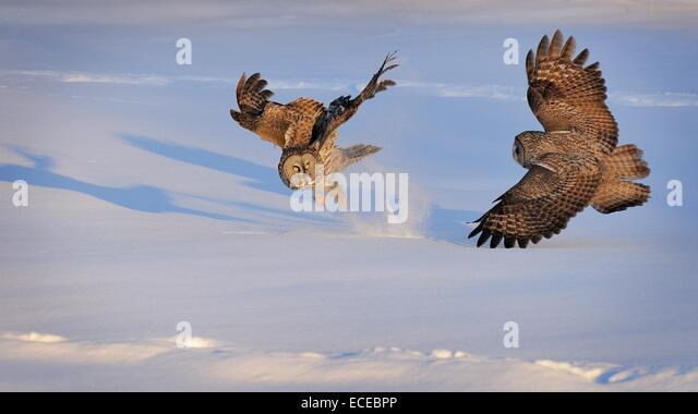 Canada, Quebec, Montreal, Great Grey Owls fighting - Stock Image