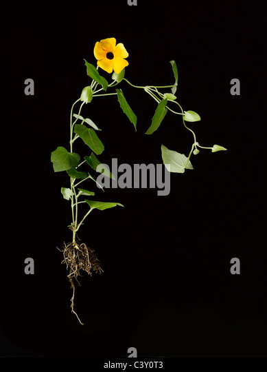flowering Thunbergia Black-Eyed Susan vine plant with roots - Stock Image