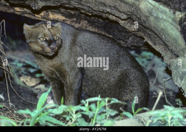 Jaguarundi,( Felis (Herpailurus) yagouaroundi) Captive cat of tropical America - Stock Image