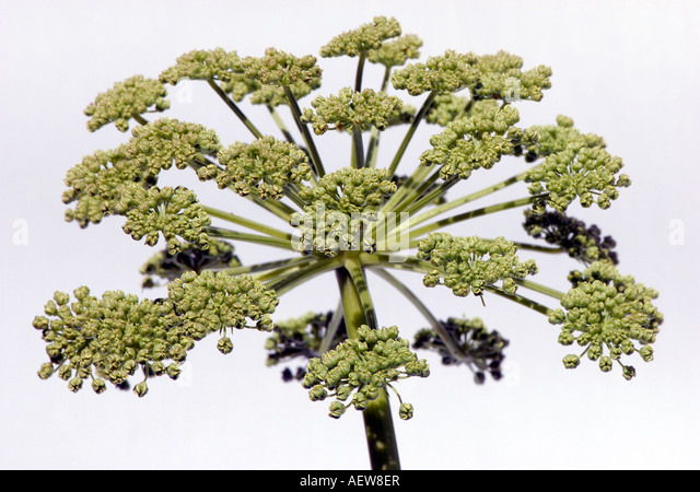 Angelica archangelica flowerhead common name Holy Ghost - Stock Image