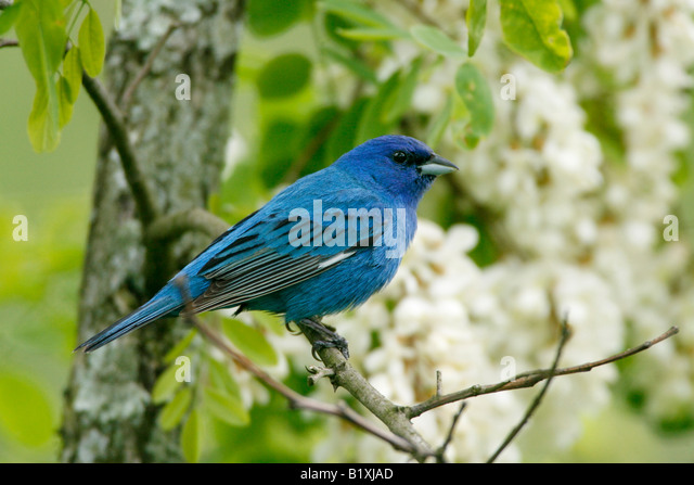 Indigo Bunting Perched in Locust Tree Blossoms - Stock Image
