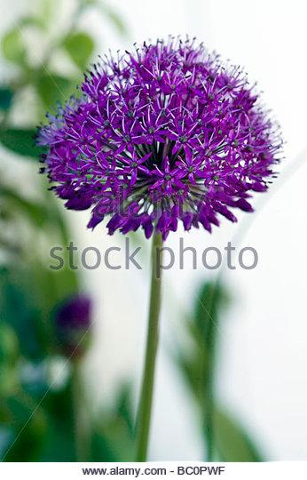 Allium hollandicum Purple Sensation Ornamental Onion - Stock Image