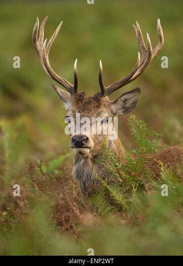 Close-up of a young Red deer stag in autumn, UK - Stock Image