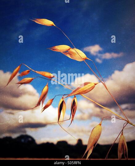 Seed pods and wheat field - Stock Image