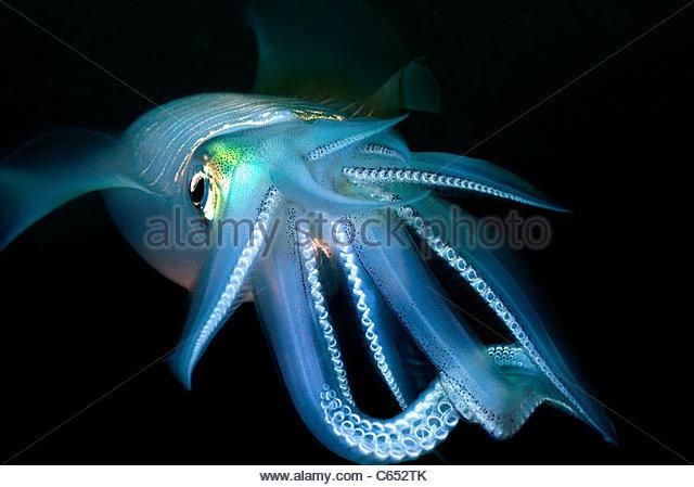 Squid (Sepioteuthis) Mabul Island Malaysia - Stock Image