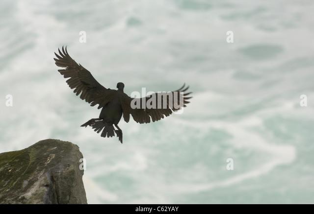 SHAG Phalacrocorax aristotelis An adult comes in to land on a stormy dayShetland Islands, Scotland, UK - Stock-Bilder