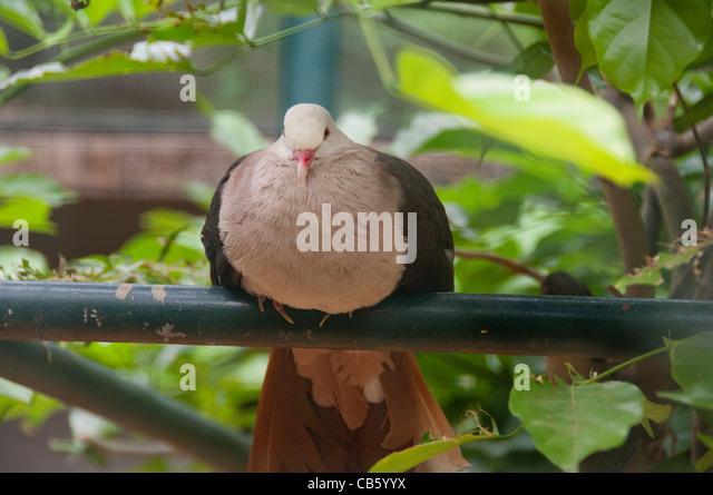 Island of Mauritius. Casela Park, popular wildlife park. Very rare endemic Pink Pigeon. - Stock-Bilder