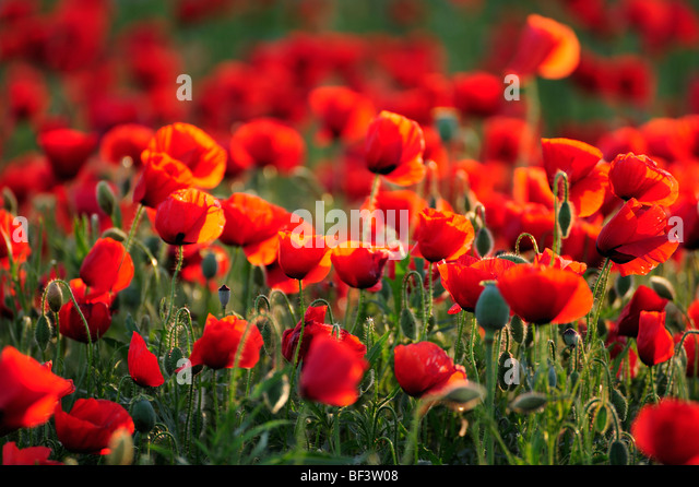 Poppy wild flowers red poppies red green nature environment poppy fields - Stock-Bilder