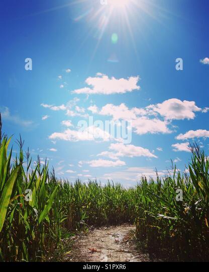 Corn maze - Stock Image