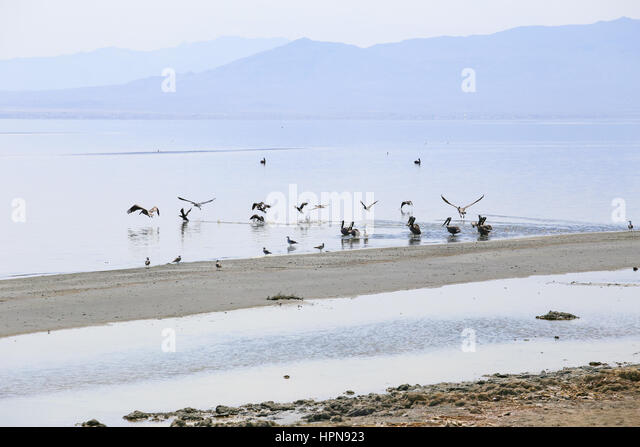 Pelican colony and some seagulls on the shore of the Salton Sea near Bombay Beach in California, USA. - Stock Image