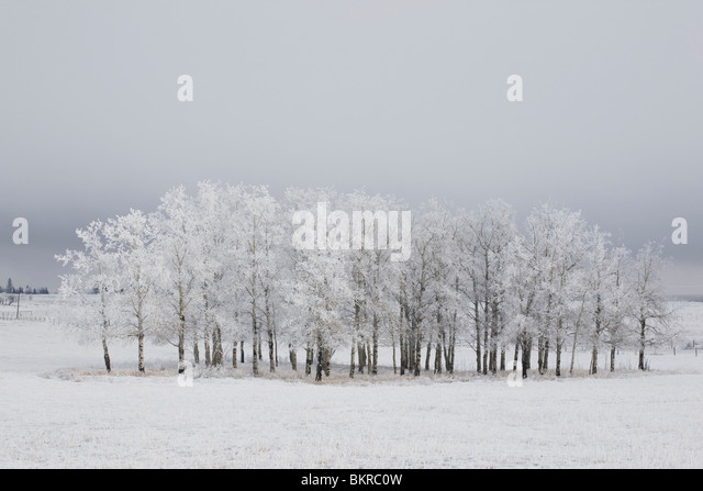 Calgary, Alberta, Canada; Trees Covered In Frost In A Field - Stock Image