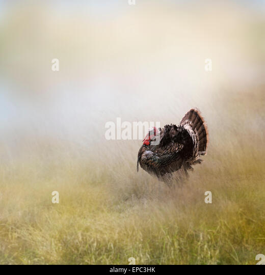 Turkey Male In A Field - Stock Image