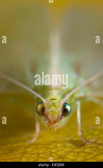 Green lacewing (Chrysopa sp) close up of head, UK - Stock Image