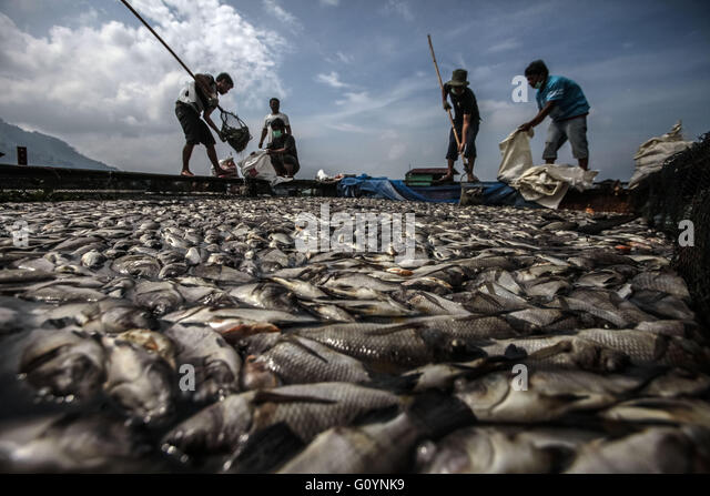 North Sumatra, Indonesia. 6th May, 2016. Fishermen collect dead fish floating on Lake Toba with net in North Sumatra, - Stock Image