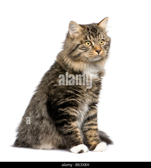 European cat in front of a white background - Stock Image