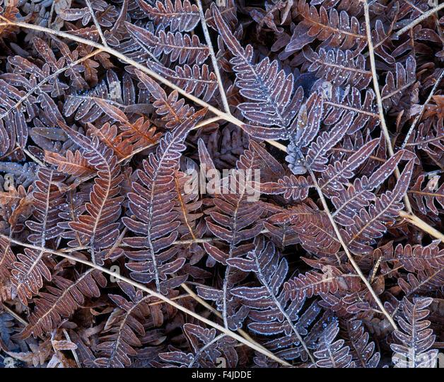 autumn bracken close-up color image detail fern frost horizontal leaf no people outdoors rust Scandinavia Sweden - Stock-Bilder