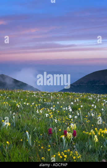wild flowers growing at the Forca Canapine Monti Sibillini National Park Umbria Italy NR - Stock Image