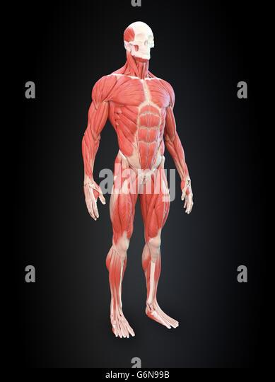 Detailed muscle human anatomy illustration - Stock-Bilder