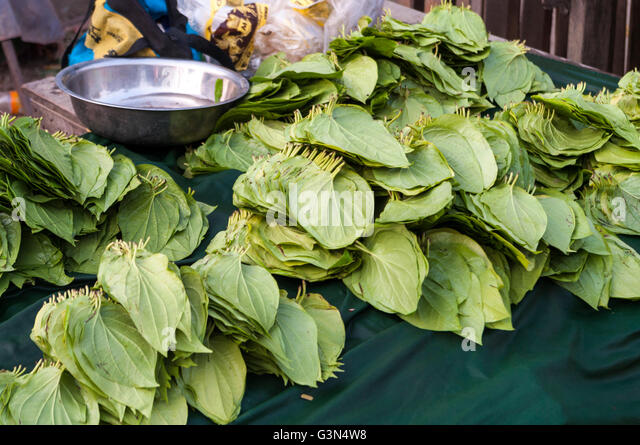 How betel leaves piper betel are useful for health
