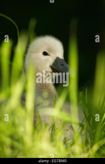 Mute swan cygnet sitting in the grass. London - Stock Image
