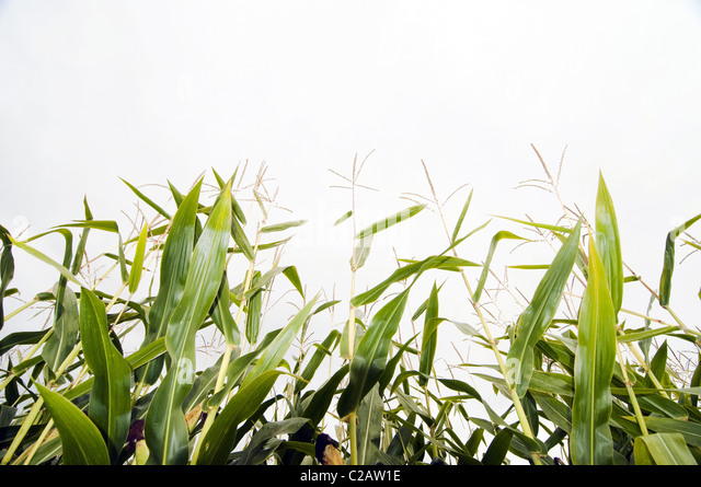 Maize growing in field, close-up - Stock Image
