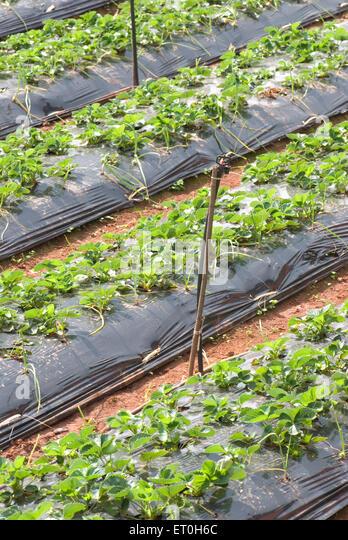 Cultivation of strawberry using new technique ; Panchgani ; Maharashtra ; India - Stock Image