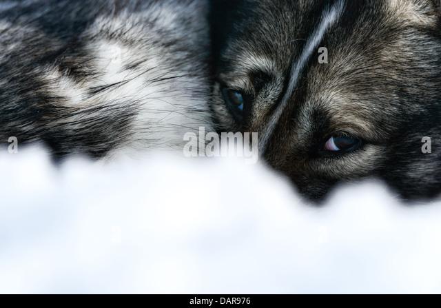 Siberian Husky, close-up of face, Sweden - Stock Image