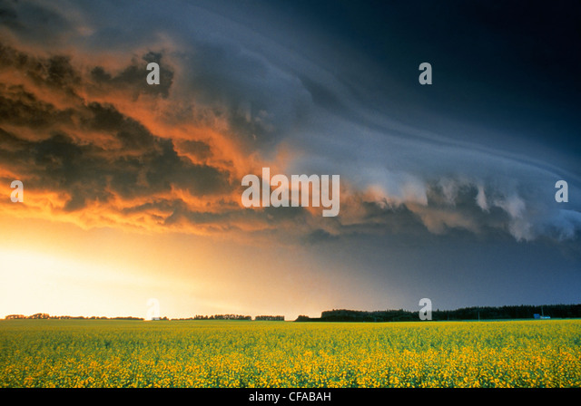 Canola and storm clouds near Glenboro, Manitoba, Canada. - Stock-Bilder