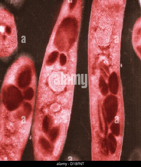 Electron micrograph of Bacillus anthracis bacteria - Stock Image