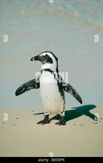 African Penguin standing beach / Spheniscus demersus - Stock Image