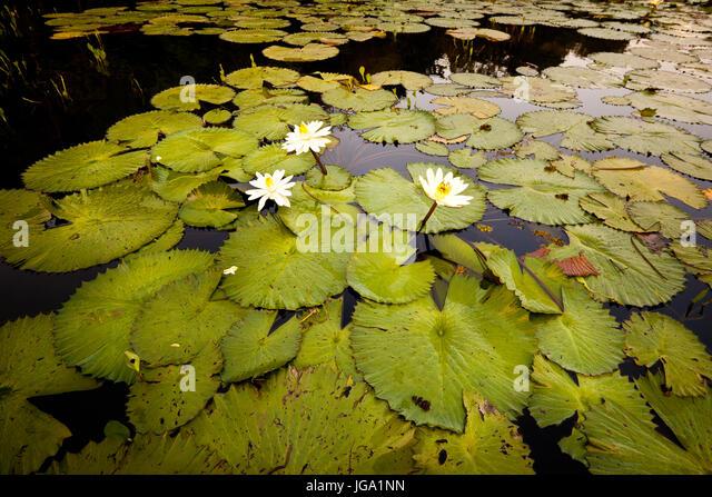 Waterlilies in Rio Chagres, Soberania national park, Republic of Panama. - Stock-Bilder
