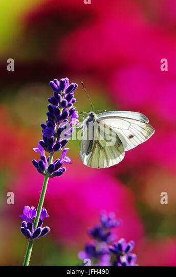 Butterfly on lavender inflorescence - Stock Image