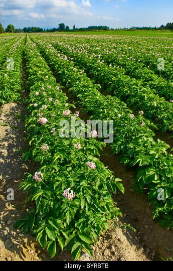 Potato Plant Stock Photos & Potato Plant Stock Images - Alamy