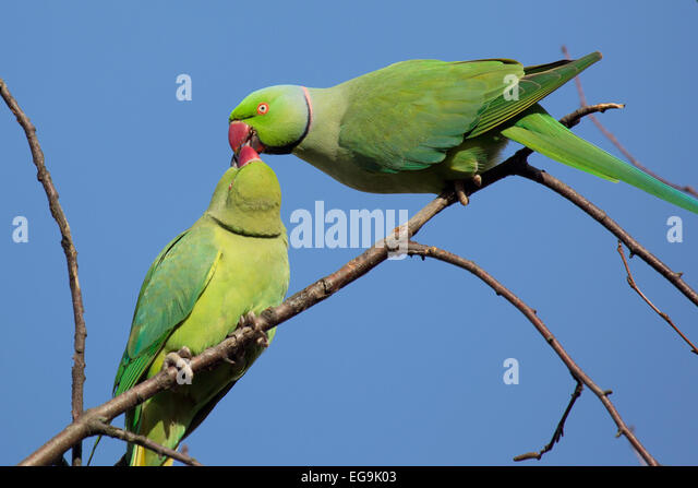 Ring-necked parakeet courtship. London Wetland Centre, Barnes UK - Stock Image