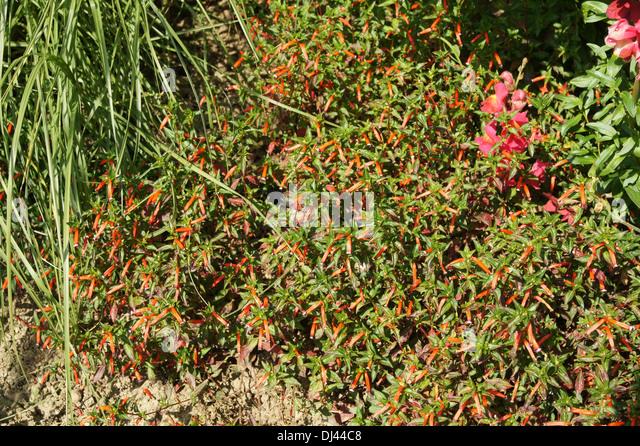 Cuphea ignea Dynamite, Zigarettenblümchen - Stock Image