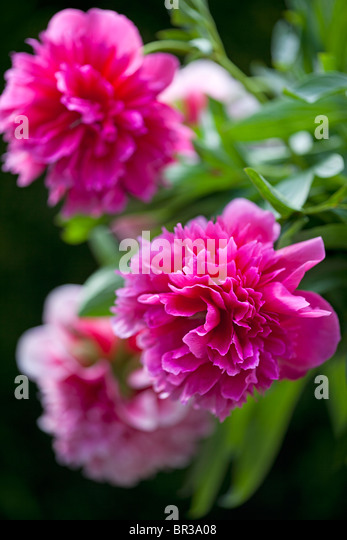Beautiful deep pink Paeonia officinalis - Stock Image